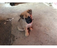 Boerbel puppies for sale to loving homes
