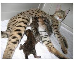 Good Savannah Kittens For Adoption