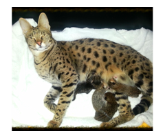 Beautiful Savannah Kittens For Re Homing