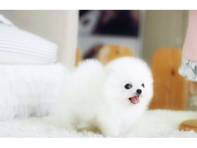 Beautiful White Pomeranian Puppies Available Animals Montgomery