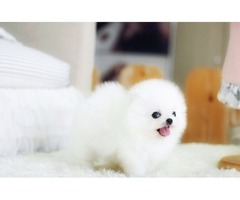 Beautiful  White Pomeranian Puppies Available