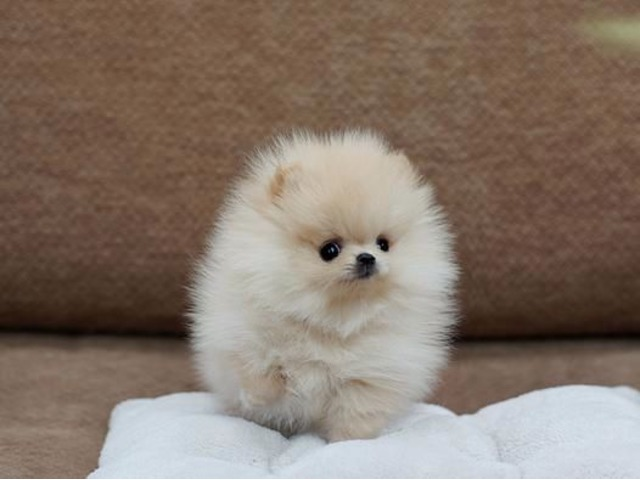 Perfect Akc Tea Cup Pomeranian Puppies Available For Good Homes