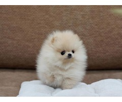 Perfect AKC Tea-Cup Pomeranian Puppies Available For Good Homes