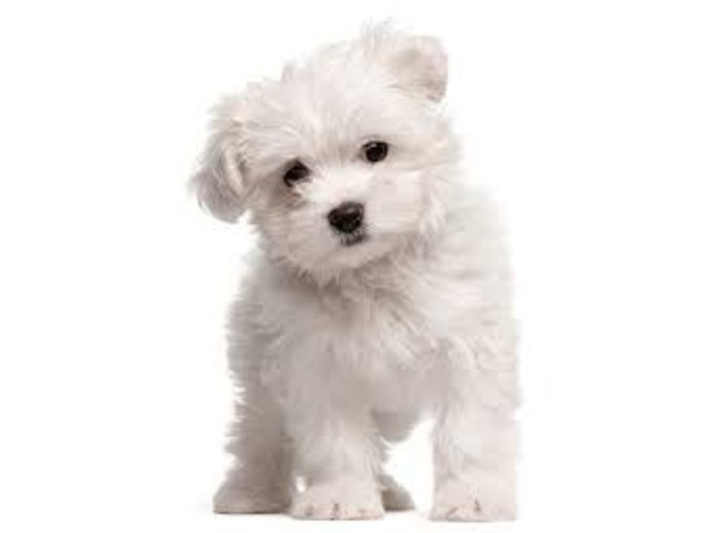 Gorgeous White Maltipoo Girl & Boys For Sale - Animals ...