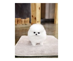 Stunning AKC T-Cup Pomeranian  Puppies Now Available