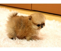 Male/Female Tcup Pomeranian Puppies Available