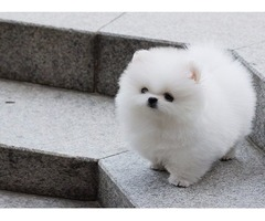 Gorgeous Two Male/Female Tcup Pomeranian Puppies Available.