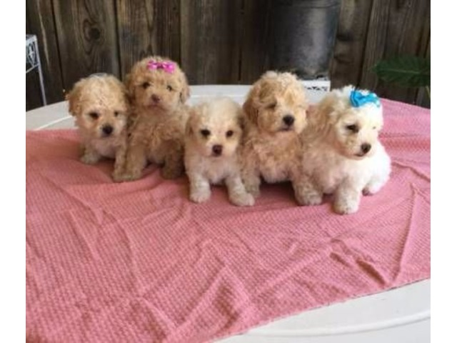 Puppy Apricot And White Toy Maltipoo Maltese Poodle Puppies