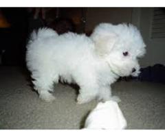 Teddy Bear Maltipoo   Puppies