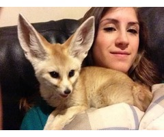 Fennec Fox babies available for sale now
