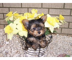 Yorkshire Terrier CKC Teacup yorkies for sale