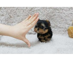Yorkshire Terrier Teacup Yorkie puppies