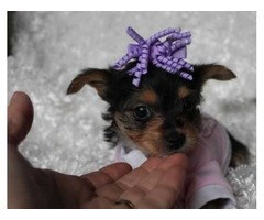 Yorkshire Terrier Ckc Teacup Yorkie-m-dash