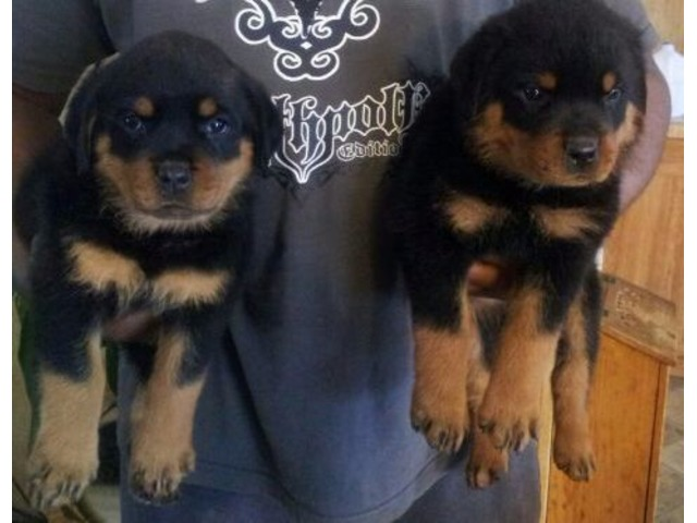 Rottweiler Puppies Available Animals Alba Texas Announcement