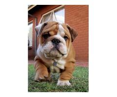 English Bulldogs For Adoption !!