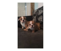Beautiful English Bulldog puppies for adoption