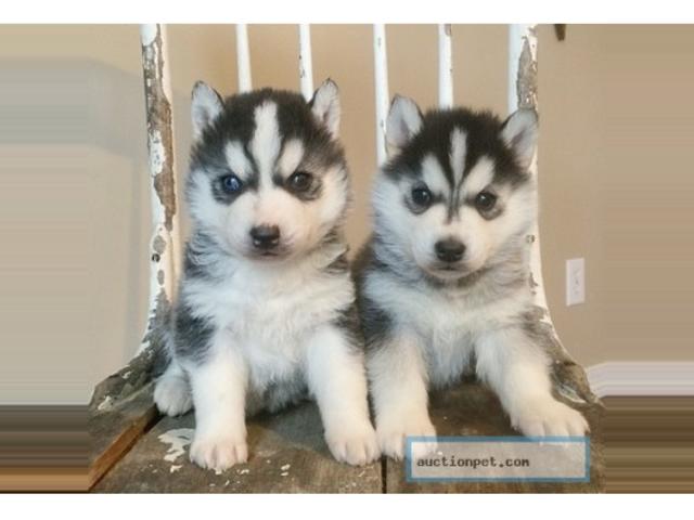Weimaraner Weimador Siberian Husky puppies for adoption ...