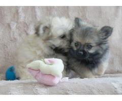 Gorgeous Malchi Pups