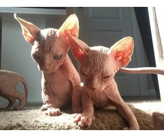 boy and girl Sphynx Kitten Available For Reservation