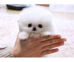 Pomeranian Puppies,*kc Reg*vet Check*pedigree