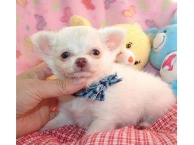CutelittleCKCFemaleChihuahuaPuppies