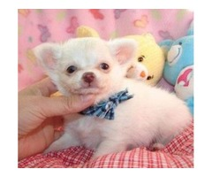 Cute little CKC Female Chihuahua Puppies