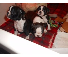 4 Beautiful Big Boned Corso Puppies Ready