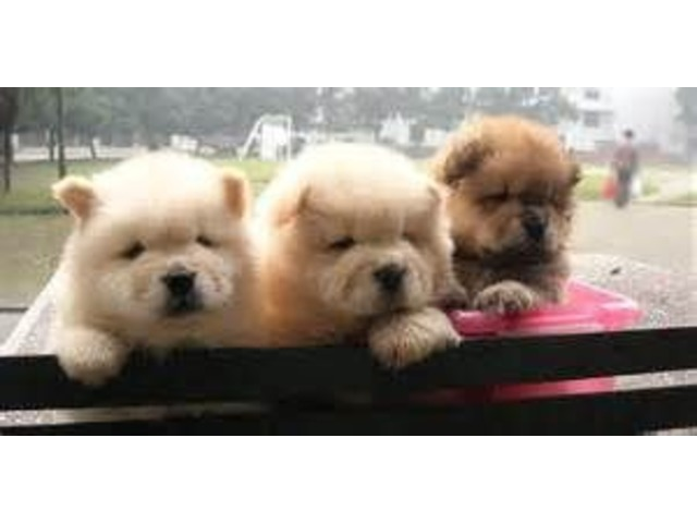 Reminisce coco Kc Reg Cinnimon Chow Chow puppies - Animals
