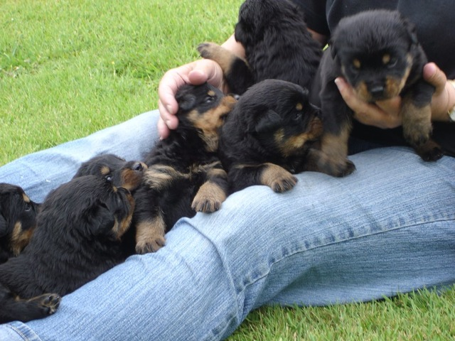 Akc Reg Males And Females German Rottweiler Puppies For Sale Now