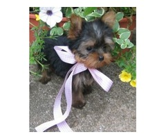 Yorkshire terrier puppies