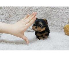 Yorkshire Terrier Teacup female yorkie