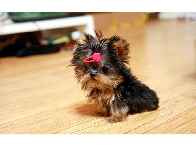 Yorkshire Terrier Teacup  Toy Yorkie Teddy Bear Doll -5467