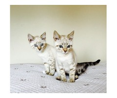 2 Beautiful Full Pedigree Kittens for doption