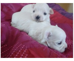 Stunning Kc Reg Maltese Terrier Puppies