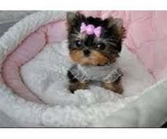 Yorkshire Terrier Yorkie for sale!