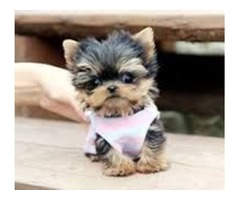 Healthy Yorkshire Terrier Purebred Yorkie puppies