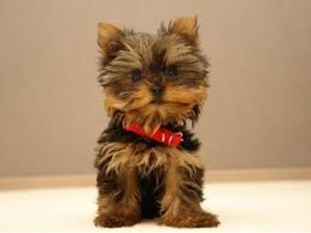 Fantastic Yorkshire Terrier Ckc Teacup Yorkies For Sale Animals