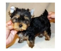 Cute Yorkshire Terrier Teacup Yorkie puppie