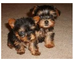 Yorkshire Terrier Gorgeous Yorkie Puppies Ready For New Home