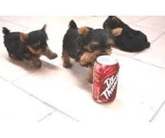 Urgent Yorkshire Terrier Healthy Yorkie puppies