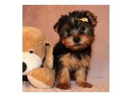 Dolly Yorkshire Terrier Purebred Yorkie Puppie
