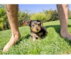 Yorkshire Terrier pure breed male/female teacup yorkie pups