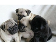 Available Male and Female Pug puppies ow Ready for Good Homes