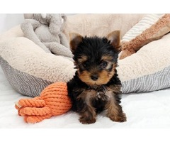 Yorkshire Terrier Home Raised Yorkie Puppies