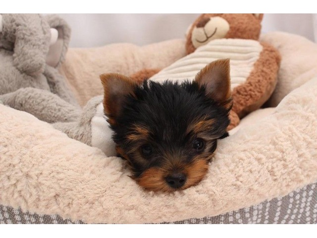 Yorkshire Terrier Puppies Available now - Animals
