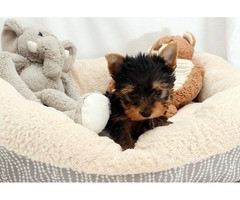 Social Yorkshire Terrier Adorable Teacup Yorkie Puppies