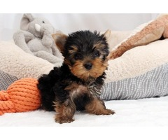 Yorkshire Terrier mazing Teacup Yorkie Puppies