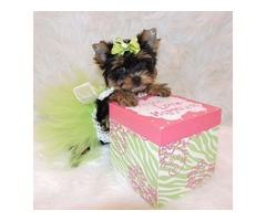 Yorkshire Terrier T-Cup Yorkie Puppies for Adoption