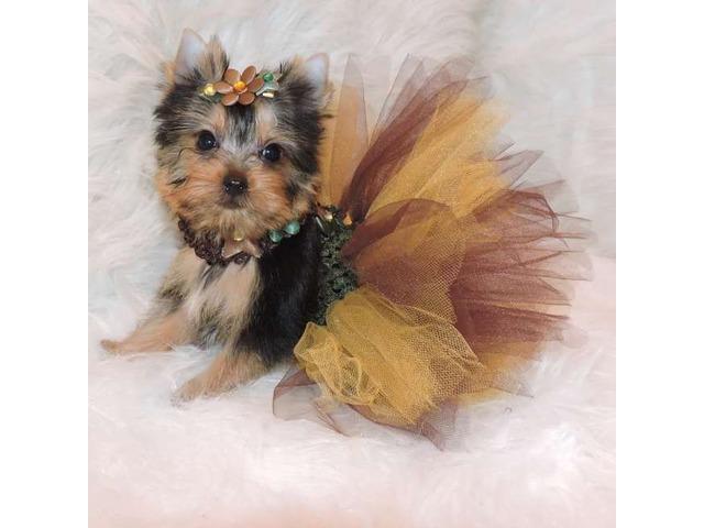 Cute Stunning Yorkshire Terrier puppies - Animals
