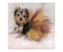 Cute Stunning Yorkshire Terrier puppies